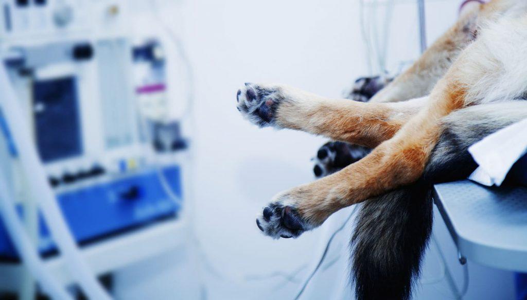 RCP en perro, cardioprotege tu mascota